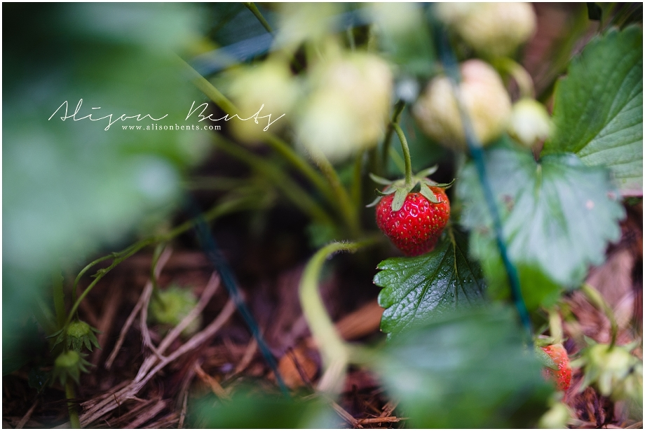 strawberry growing in patch